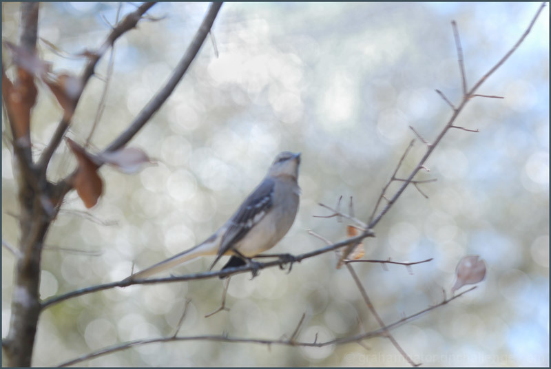 Mockingbird in Twilight