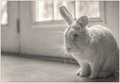 Resentful Rabbit