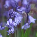 Bluebell and Bokeh