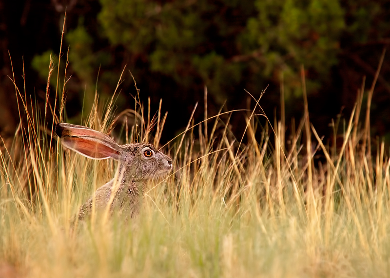 As evening settles upon the desert, a western black tailed hare cautiously sets out for the night