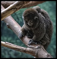 Bolivian gray titi monkey with Dad