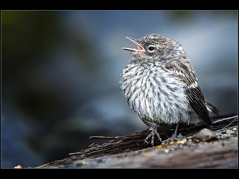 The call of a lost baby bird in Mt. Rainier NP