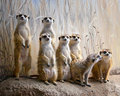 The Meerkat Family Portrait