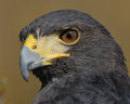 Harris Hawk extreme closeup
