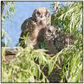Bubo Africanus : Spotted Eagle Owl chicks by the Dam