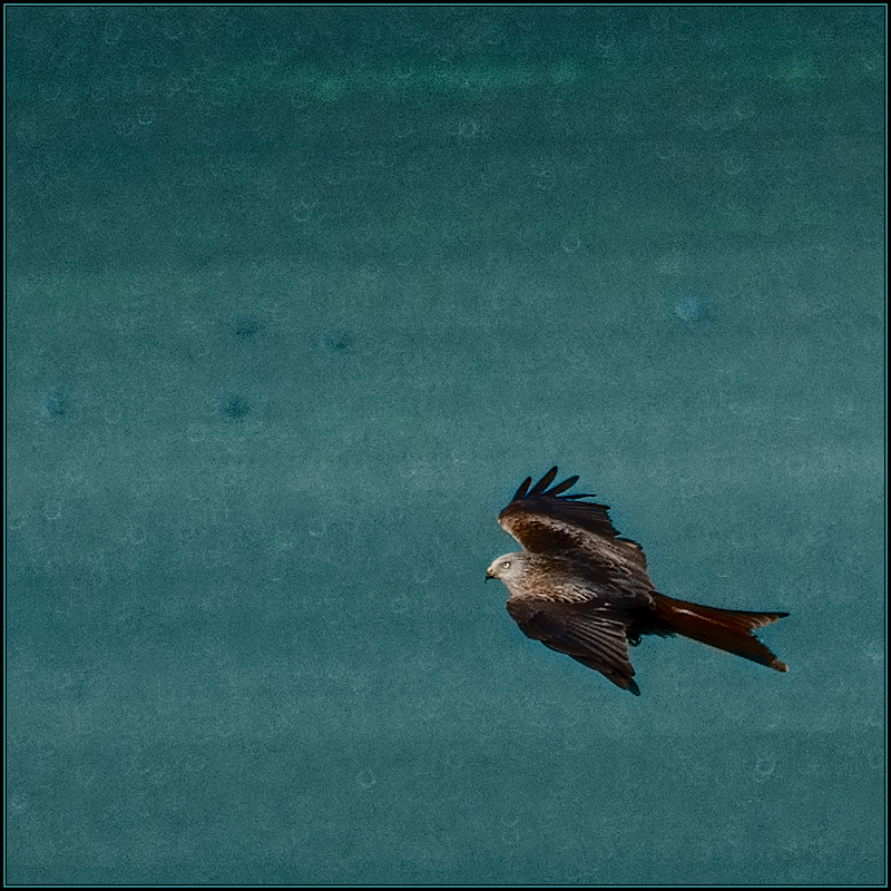 Flight of the Red Kite