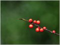 A Sprig of Berries Amongst the Evergreens