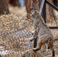Bobcat at the Fence