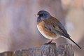 Dark Eyed Junco - Western
