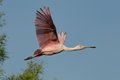 Flying Spoonbill