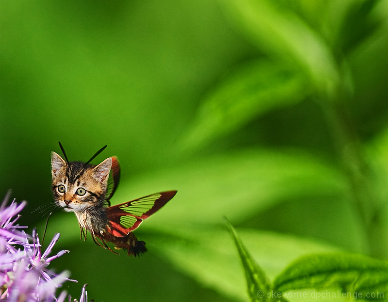 The Elusive Kitty Hawkmoth