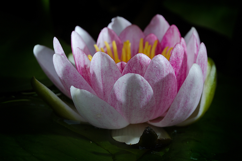 May - Month of the waterlily