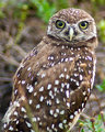 The Endangered Burrowing Owl