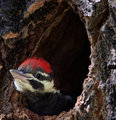 Young Pileated Woodpecker