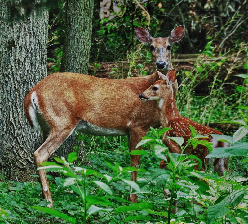 Mother & Child     (Whitetail deer, Odocoileus virginianus)