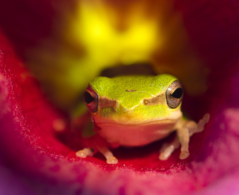 Frog in Allamanda Flower