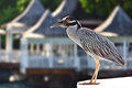 Night heron enjoying the bayside view