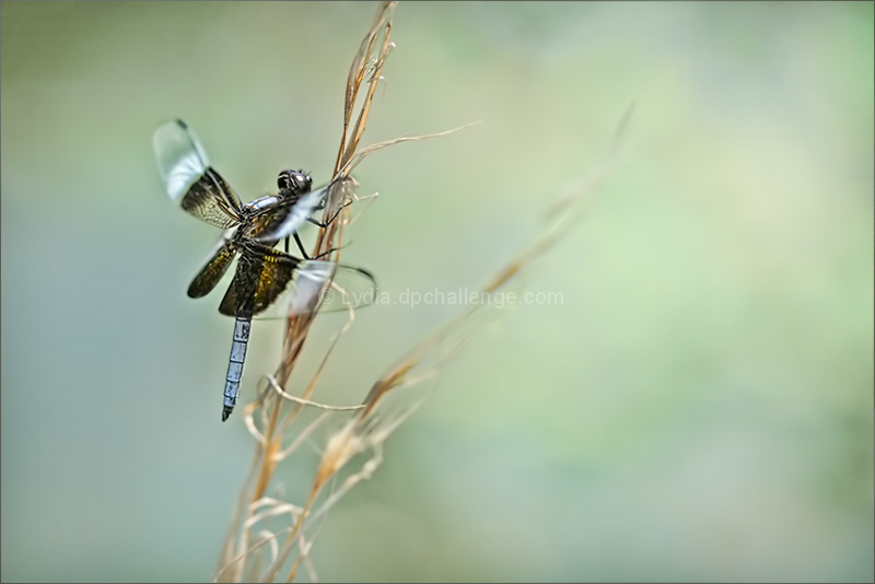Summer Day.  Dragonfly.