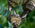 Hummingbird Mom feeds 10 day old chicks