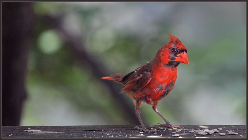 Teenage Cardinal ... After the Party