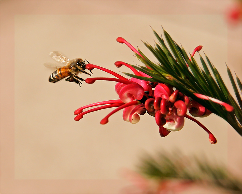 'Red Grevillea...my favourite!'