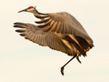 Migration of the Sand Hill Crane