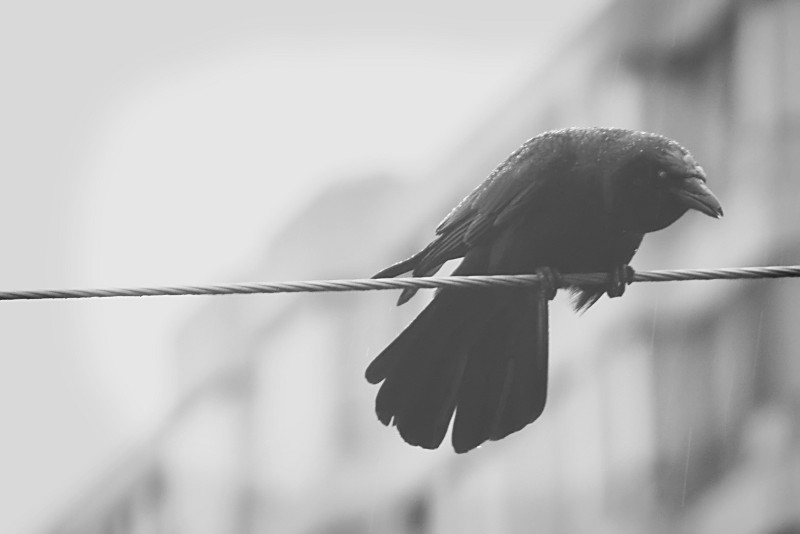 crow on wire in rain
