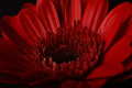 Gerbera in Red