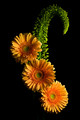 Gerbera and Accent