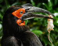 Some Days You're the Ground Hornbill, Some Days You're the Mouse!
