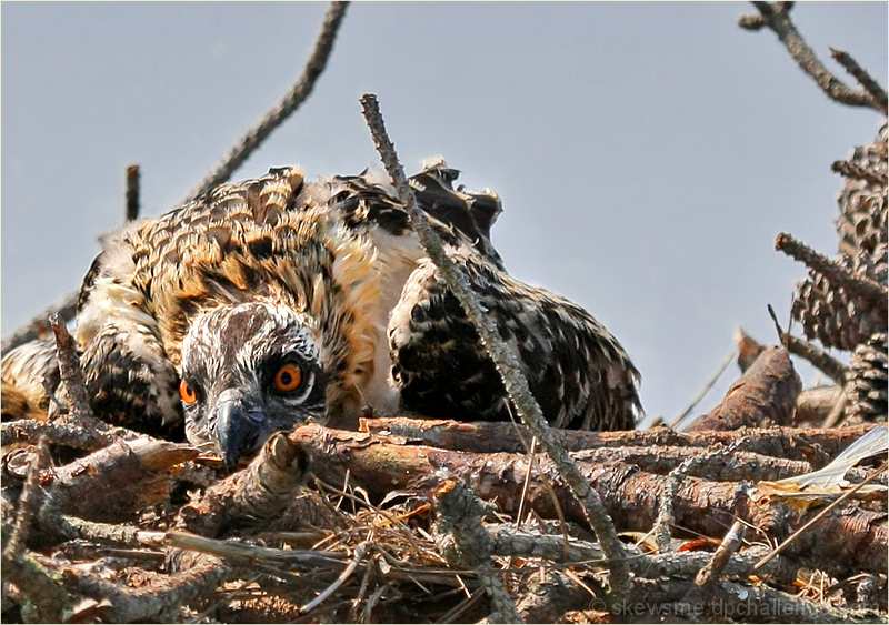 Osprey nest, dejected fledgling