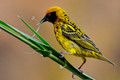 The Little Weaver