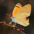 Yellow Buttterfly