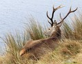Stag relaxing on the lakeshore