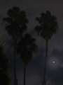 Palms by Moonlight