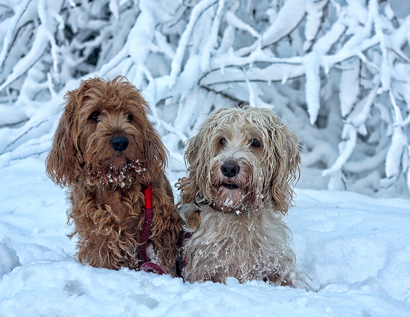 Hounds in the snow