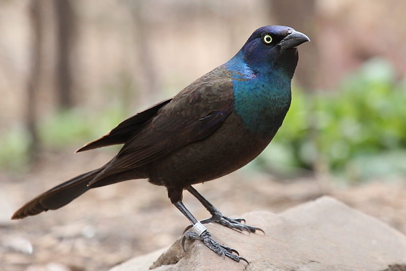 With spring come Grackles!