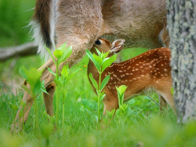 Memorial Day Tradition: Mountain Trip - Fawn Sightings