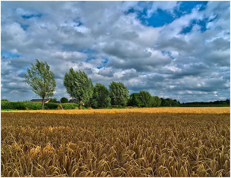 Field of Grain under Clouds