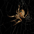The Orb Weaver
