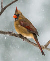 Cardinal In Snowstorm