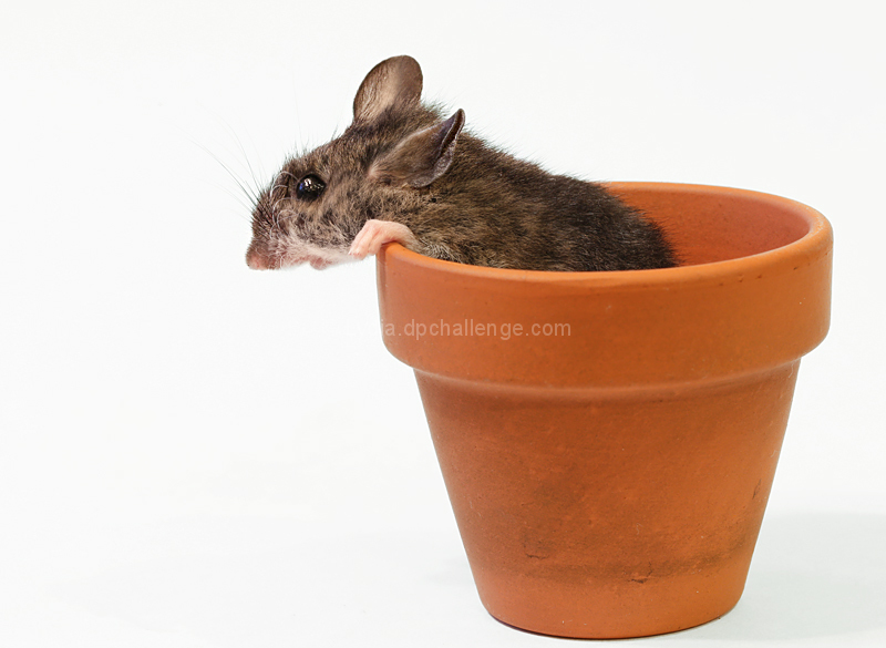 Potted Mouse