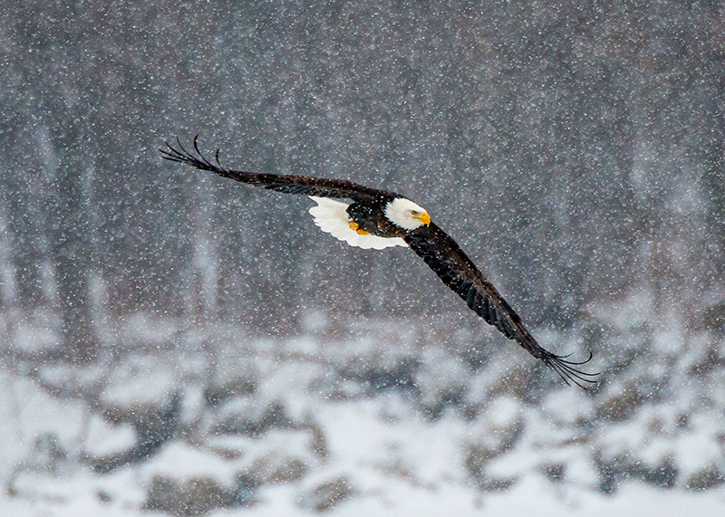 Bald Eagle In A Blizzard
