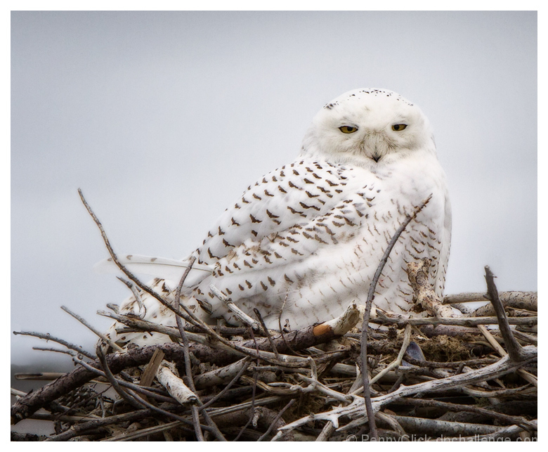 Snowy Owl on Borrowed Osprey Nest