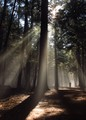 Walking Through the Ancient Forest of Rays