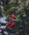 Cardinal in the yew