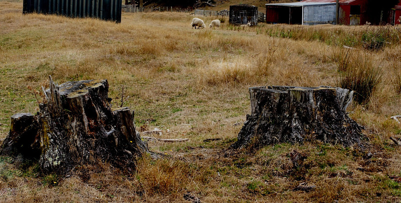 Beyond the Black Stump , where The Jumbucks Graze.