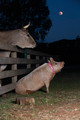 The Pig (and Cow) Who Sang To The Moon
