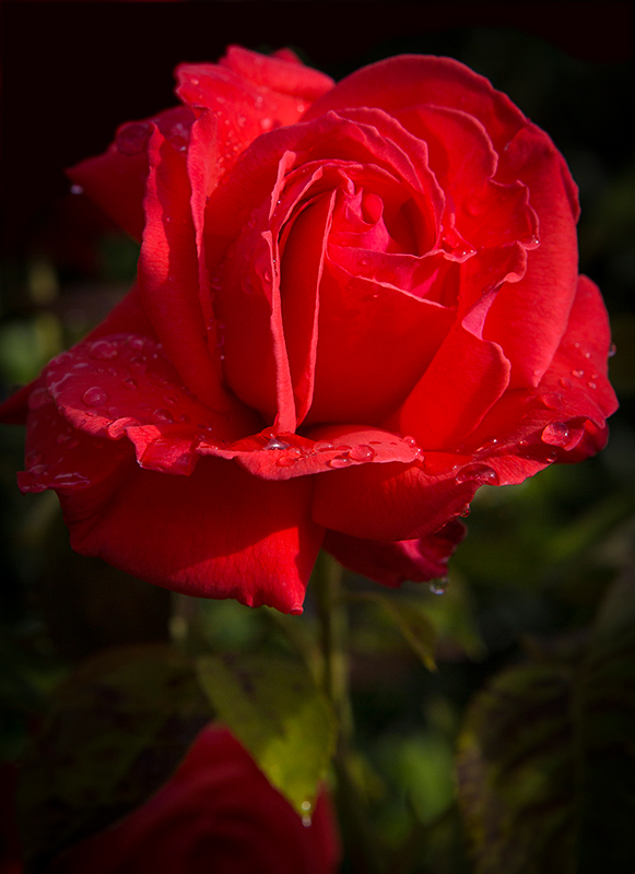 A red rose after a rainy day in London