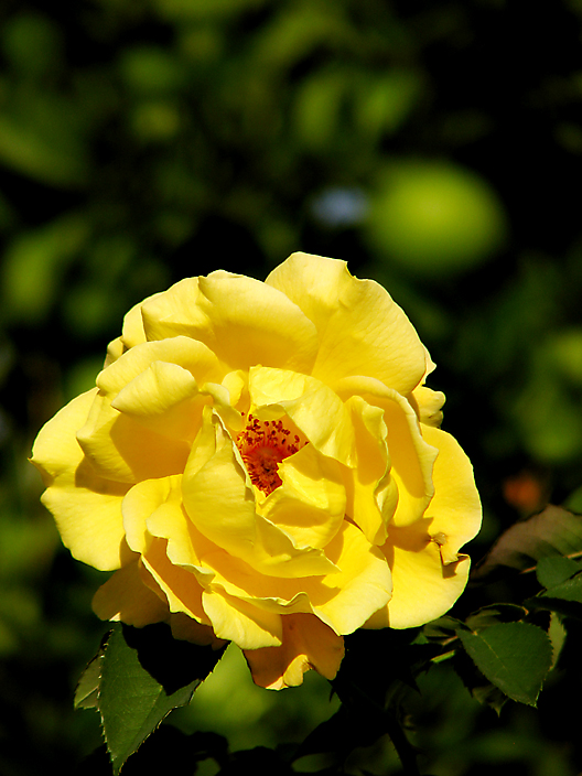 Yellow Rose, Orange Tree